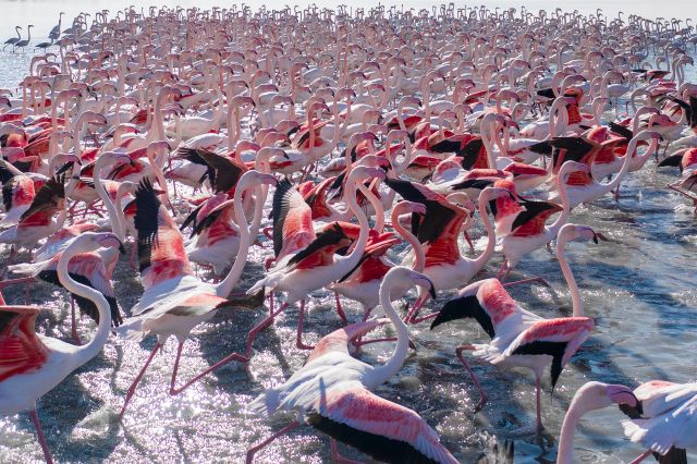 The Flamingos of the Lagoon of Venice
